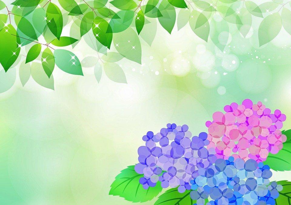 五角オクラと庭のアジサイ
