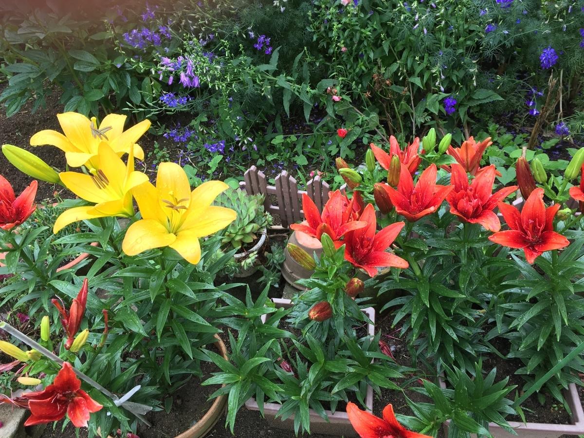 庭の鉢植えのユリ