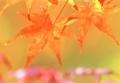 [紅葉] 京都新聞写真コンテスト 紅葉狩り