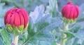 京都新聞写真コンテスト 赤い菊