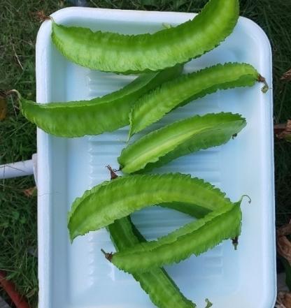収穫した四角豆7つ