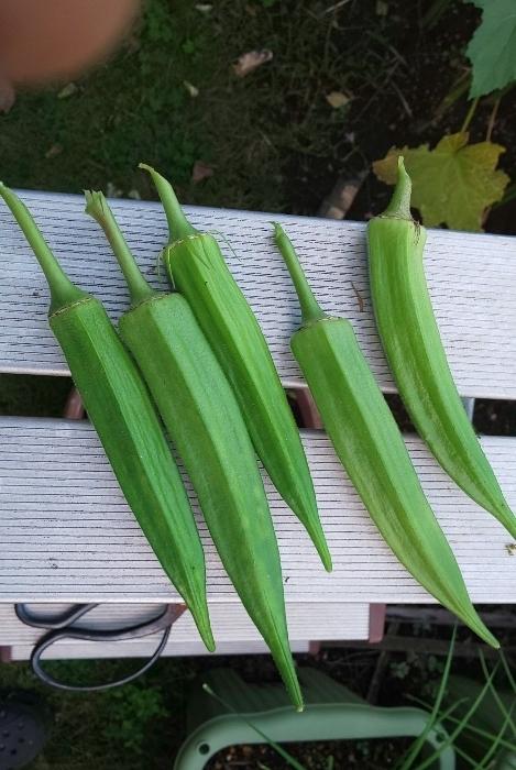 収穫したオクラ5本