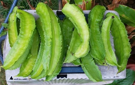 15本収穫した四角豆