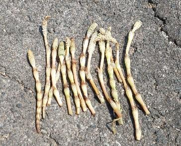 地面の上に置かれている収穫したつくしが14本