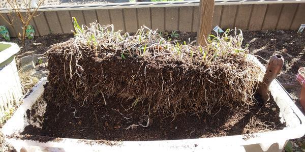 プランターから根っこごと掘り出されたニラ