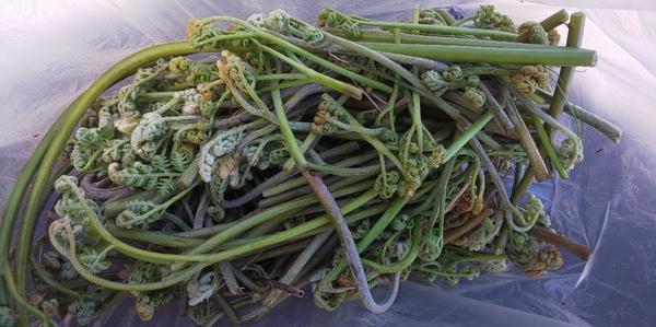 袋に入った収穫後のワラビ