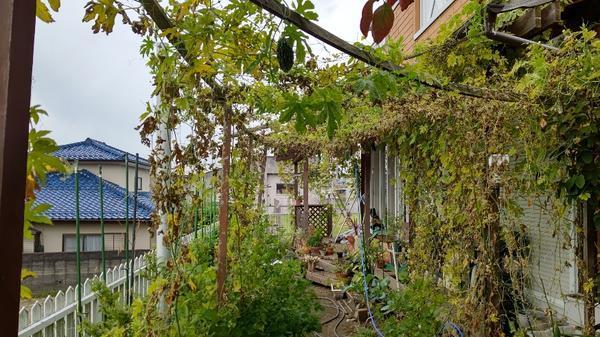 蔓や葉っぱの撤去前の茂った状態