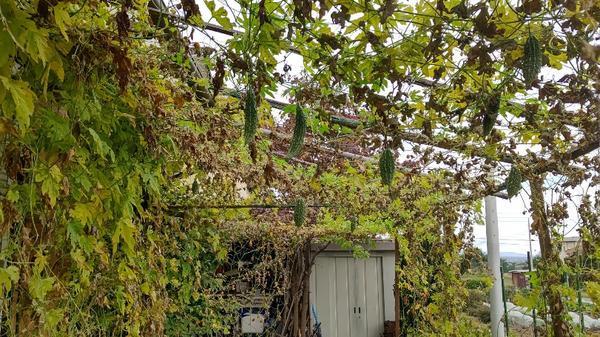 実は付いているが枯れ葉も多くなり撤去目前のゴーヤ