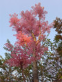 西公園チャンチン 2009.4.12 福岡市中央区