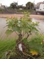 雨後 2009.7.25 樋井川