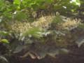 六本松の森で(4) 2009.8.1 タラノキ