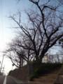 さくらがさいた 2013.3.9 麦野公園(福岡市博多区)