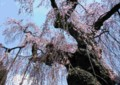 M12 乙姫桜