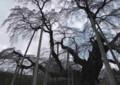 M10 三春の滝桜-2