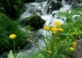 wt01 渓流に咲く