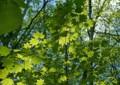 yac10 緑葉燦々