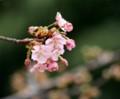 ES07 河津桜(上野)