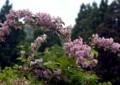 MD13 ウツギの花