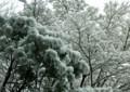 SF11 ボタ雪の花