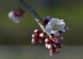 NY04 遅咲きの梅