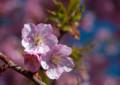 HR05 寒桜
