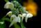 NF02 額紫陽花