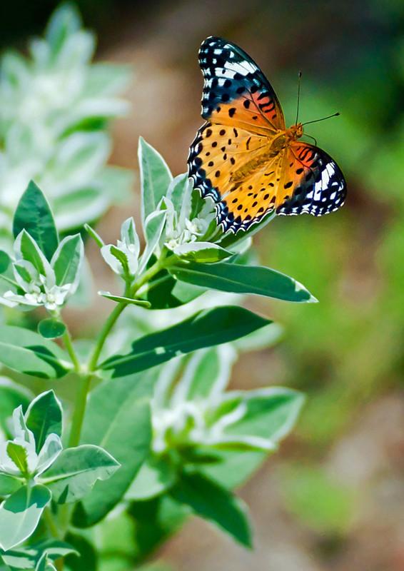 LT16 蝶の花