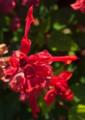 YK11 花のフラメンコ