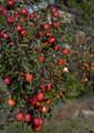 FF13 茨城のリンゴ