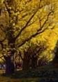RI14 銀杏並木