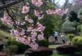 yp01 熱海寒桜