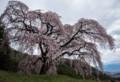 YN11 一本桜