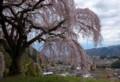 YN10 一本桜