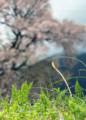 YN03 土筆と桜