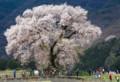 YN02 和仁塚の桜