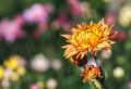 af09 三輪の菊