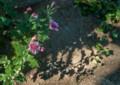 af06 自宅前の菊
