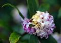 HI12 沈丁花