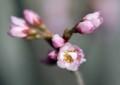 HI09 熱海の寒桜