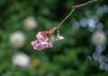 HI08 熱海の寒桜