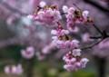 HI07 熱海の寒桜