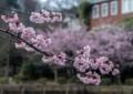 HI06 熱海の寒桜