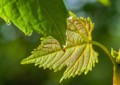 HF06 葡萄の葉