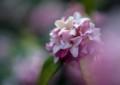 JM01 沈丁花