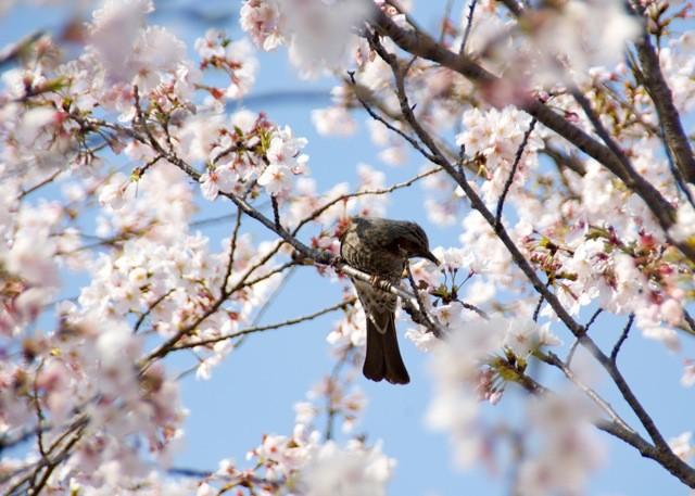 桜とヒヨ2