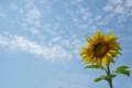七城の向日葵
