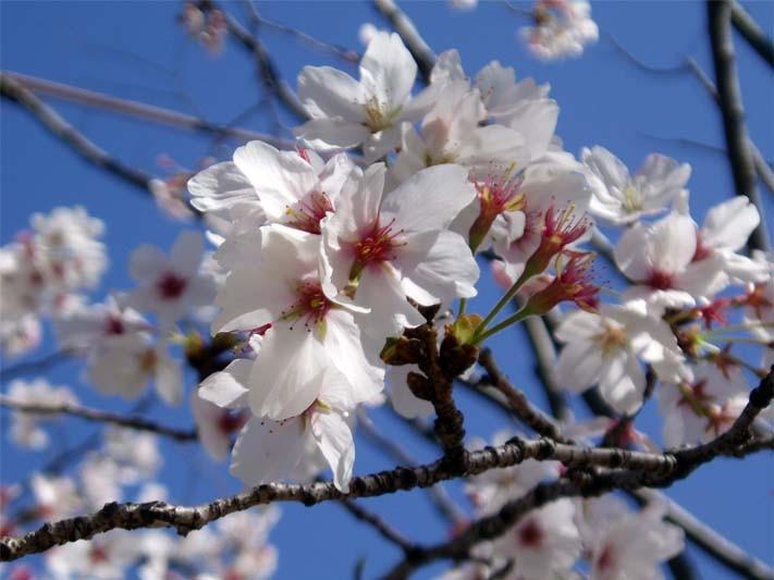 東公園の桜