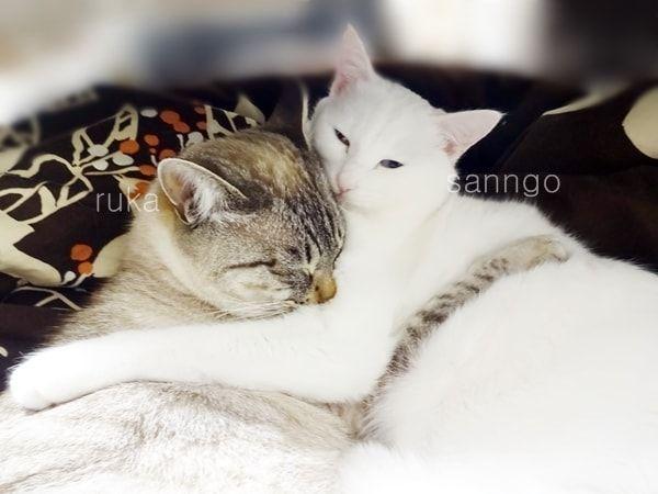 f:id:sangoruka_cats:20171104144720j:plain