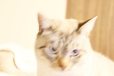 f:id:sangoruka_cats:20171106013724j:plain