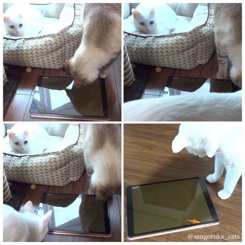 f:id:sangoruka_cats:20171106172126j:plain